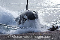 Killer Whale attacking sea lion