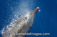 Bottlenose Dolphin blowing on surface Photo - Chantal Henderson