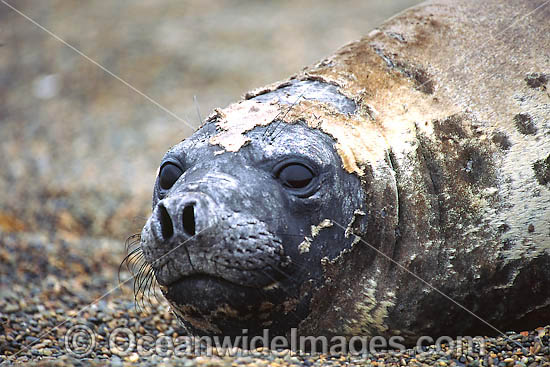 Southern Elephant Seal (Mirounga leonina). Photo taken at Punta Norte, Peninsula Valdes, Argentina.