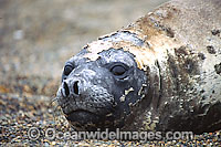Southern Elephant Seal Photo - Chantal Henderson