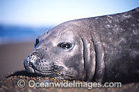 Southern Elephant Seal pup photo