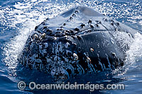 Humpback Whale spy hopping on surface Photo - Chantal Henderson