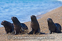 South American Sea Lion Otaria flavescens Photo - Chantal Henderson