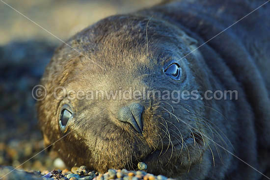 South American Sea Lion (Otaria flavescens) - two month old pup. Also known as Southern Sea Lion and Patagonian Sea Lion. Photo taken at Punta Norte, Peninsula Valdes, Argentina. Photo - Chantal Henderson