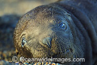 South American Sea Lion pup Photo - Chantal Henderson