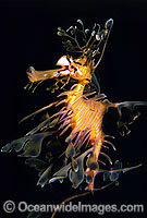 Leafy Seadragon Phycodurus eques Photo - Gary Bell