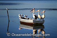 Australian Pelicans on dinghy Photo - Gary Bell
