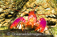 Violet-spotted Tropical Reef Lobster Photo - Gary Bell