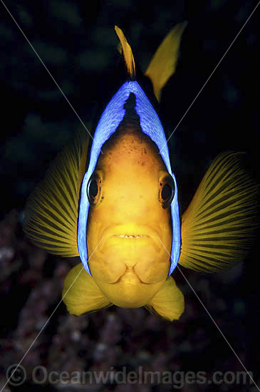 Orange-fin Anemonefish (Amphiprion chrysopterus). Found throughout the West-Pacific, including the far northern Great Barrier Reef Australia, New Guinea, Solomon Islands and Fiji. Photo - Gary Bell