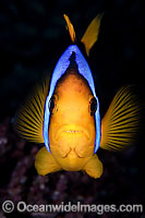 Orange-fin Anemonefish Photo - Gary Bell