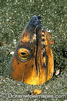Black-finned Snake Eel Photo - Gary Bell