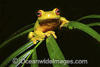 Red-eyed Tree Frog on palm frond Photo - Gary Bell