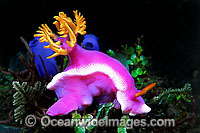 Pink Dorid Nudibranch photo