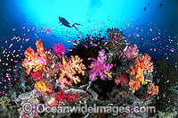 Diver Fish and coral photo