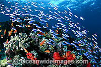 Schooling Fish and coral photo