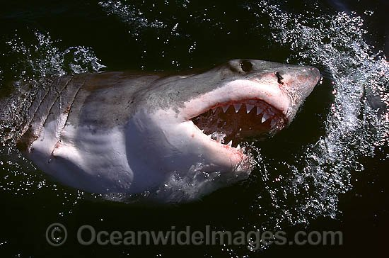 Great White Shark (Carcharodon carcharias), with open jaws on surface. Found throughout the world's oceans, but mostly in temperate seas. Photo was taken at Gansbaai, South Africa. Protected species Classified as Vulnerable on the IUCN Red List. Photo - Gary Bell