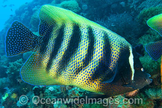 Six-banded Angelfish (Pomacanthus sexstriatus). Found throughout the Indo-West Pacific. Photo taken on the Great Barrier Reef, Queensland, Australia Photo - Gary Bell