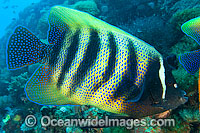 Six-banded Angelfish Pomacanthus sexstriatus Photo - Gary Bell