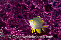 Juvenile Golden Damsel Photo - Gary Bell