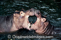 Hippopotamus pair mouthing