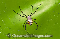 Saint Andrew's Cross Spider Photo - Gary Bell