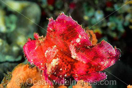 Leaf Scorpionfish (Taenianotus triacanthus) - pink phase. This species is highly variable and has many colour variations. Also known as Paper Scorpionfish. Found on offshore reefs throughout South-East Asia and Indo-Central Pacific. Photo taken at Bali. Photo - Gary Bell