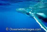 Humpback Whale calf underwater Photo - Inger Vandyke