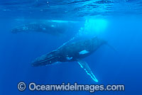 Humpback Whale underwater Photo - Inger Vandyke