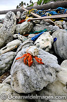 Hermit crab living in rubbish image