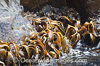 Bull Kelp Durvillaea potatorum Photo - Inger Vandyke