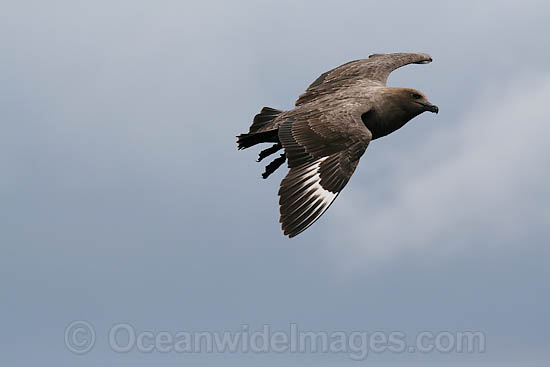 South Polar Skua (Stercorarius maccormicki). Found throughout the Southern Ocean from Antarctica north to South Shetlands. Image taken at Wollongong, NSW, Australia. Photo - Inger Vandyke