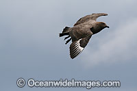 Brown Skua adult with chick Photo - Inger Vandyke