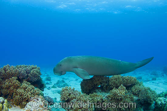 Dugong (Dugong dugon) - with damaged tail fluke. Cocos (Keeling) Islands, Australia. Dugongs can be found in warm coastal waters from East Africa to Australia. Also known as Sea Cow. Classified Vulnerable on the IUCN Red List. Now a Protected species.