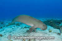 Dugong damaged tail fluke image