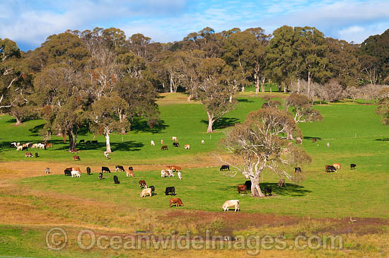 Herd of Beef Cattle (Bos taurus) grazing on pasture farm land. Near Dorrigo, country New South Wales, Australia Photo - Gary Bell