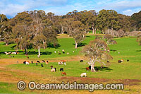 Beef Cattle Dorrigo Photo - Gary Bell