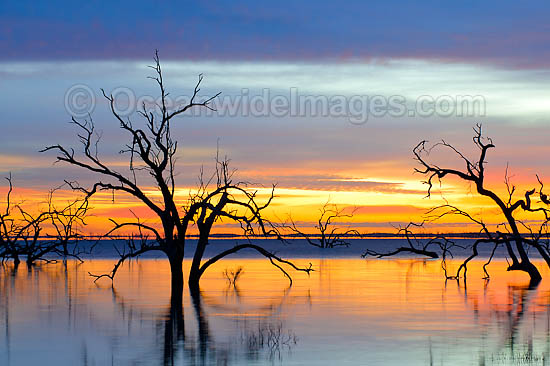Scenic landscape showing dead River Red Gums (Eucalyptus camaldulensis), silhouetted on Lake Menindee at dawn sunrise. Near Broken Hill, New South Wales, Australia Photo - Gary Bell
