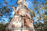 Giant River Red Gum Photo - Gary Bell