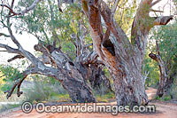 Giant Red Gum Darling River Photo - Gary Bell