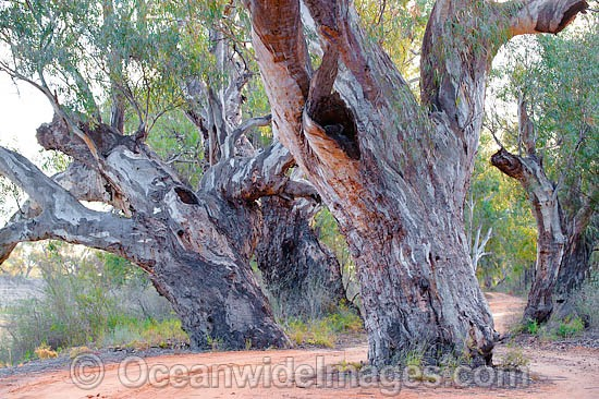 Giant River Red Gums (Eucalyptus camaldulensis), situated on the banks of the Darling River, near Menindee, New South Wales, Australia Photo - Gary Bell