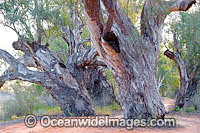Red Gum Darling River Photo - Gary Bell