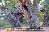 River Red Gum Darling River Photo - Gary Bell
