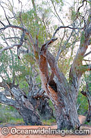 Giant River Red Gums Photo - Gary Bell