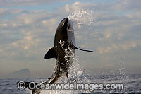 Great White Shark (Carcharodon carcharias) breaching whilst predating on the surface. Seal Island, False Bay, South Africa. Protected species. Photo: Chris & Monique Fallows