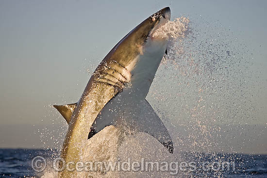 Great White Shark (Carcharodon carcharias) breaching whilst predating on the surface. Seal Island, False Bay, South Africa. Protected species. Photo - Chris & Monique Fallows