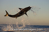 Great White Shark breaching Photo - Chris & Monique Fallows