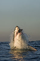 Great White Shark predation Photo - Chris & Monique Fallows