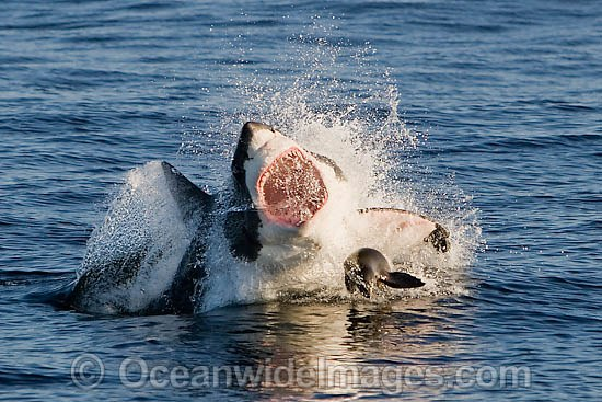 Great White Shark Attack Seal | www.pixshark.com - Images ...