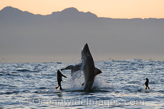 Great White Shark (Carcharodon carcharias) hunting a Cape Fur Seal (Arctocephalus pussilus pussilus). Seal Island, False Bay South Africa Photo - Chris & Monique Fallows