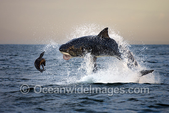 Great White Shark (Carcharodon carcharias) hunting a Cape Fur Seal (Arctocephalus pussilus pussilus). Seal Island, False Bay South Africa. Sequence 3. Photo - Chris & Monique Fallows